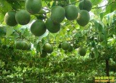 广西永福县李桂松种植新品种罗汉果成致富带头人