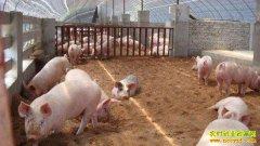 国家喊你养猪了!三类生态养猪法值得学习