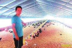 四川泸州舒成志桂花林下养土鸡循环出栏进市场