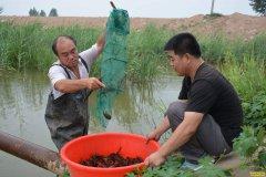 养小龙虾赚钱吗?超八成新虾农亏本 想挣钱需科学养殖