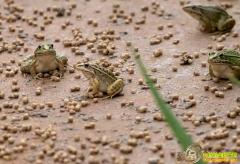 [致富经]湖南芷江七个90后大学生的养蛙致富经