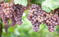 安徽广德汪惠宝瞄高端市场种植精品葡萄