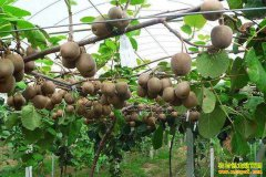 山东单县袁红君种植40亩猕猴桃一年挣了70万元