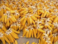 2019年11月玉米价格行情预测