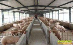 100头母猪的猪场,猪舍到底需要多少栏位?