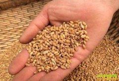短期内小麦价格无利好,手中有麦及时出手