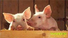 明年猪价如何?2020年生猪价格行情预测