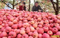 苹果价格回落 市场仍呈现优质优价走势