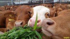 牛肉价格高,养牛效益好,为何不少养殖户却选择退出?