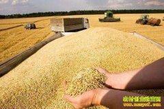 小麦企业收购价明显上涨 未来小麦价格走势如何?