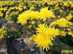 四川古蔺县:种金丝皇菊每亩收入3600元