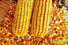 2021年3月18日全国玉米价格跌势趋缓