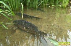 湖南安化:稻田养鱼综合种养模式助力农民增收