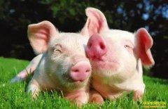 立冬后小猪怎样养殖管理?养殖户要看一下!