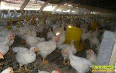 有人养鸡每月多赚1万元,养鸡真的赚钱?有哪些风险?