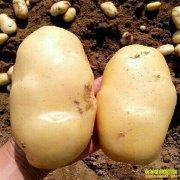 新品种土豆能生吃,一年能种两茬,每亩每茬能收5000多斤