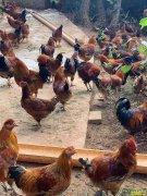 四川泸州董建明和高小倩夫妻返乡养土鸡年纯收入6万元