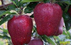 什么原因导致今年花牛苹果价跌落神坛?