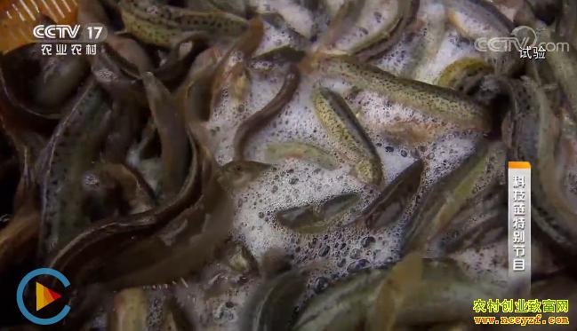 [科技链]怎样养出高品质泥鳅