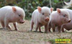 冬季如何提高仔猪成活率?
