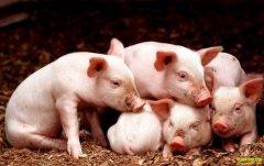 猪仔多少钱一斤?2019年12月12日仔猪价格行情