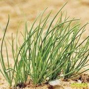 温棚种沙葱效益好:一年三茬,一茬收入5000元