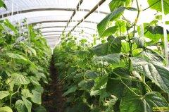 都是种植蔬菜瓜果,河南夏邑王飞凭啥能年赚100万?