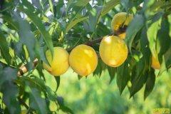 重庆秀山县退伍军人付维刚种植黄桃树种出致富路