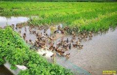 四川泸州陈明元返乡创业山林养土鸭空地也生财