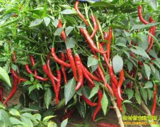 辣椒价格上涨五成上热搜 辣椒产业受关注