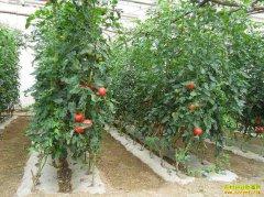 越冬大棚种植西红柿一季纯赚18万元