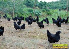 四川泸州雷忠群回乡创业养黑鸡绿壳鸡蛋卖得好
