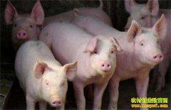 2020年养猪能赚钱吗?农业农村部专家提四大建议