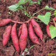 抗癌有功效 红薯种植前景可期