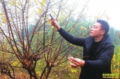 四川泸州市徐佳友荒山种植腊梅每亩收入上万