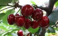宁夏贺兰县夏娟返乡创业 西北盐碱地上种樱桃