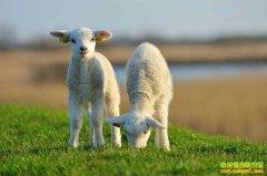2020年养羊能赚钱吗?