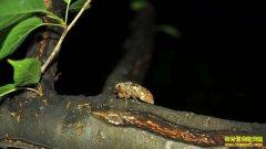 江苏沛县:林下养金蝉让农民每亩增收过万元