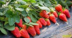 疫情之下,山东栖霞于德建种的草莓很畅销
