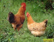 重庆丰都杨朝秀养殖土鸡蛋论个卖一只鸡创收300元