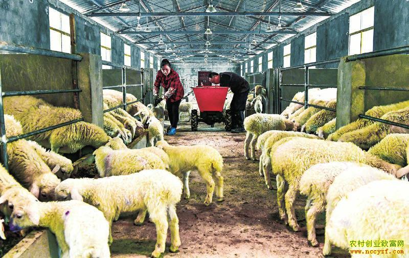 四川广安:湖羊养殖托起致富梦