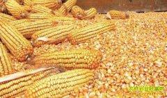 主产区价格上行 后市玉米价格看涨