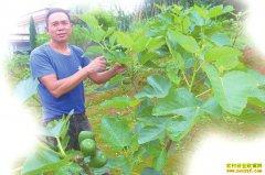 四川泸州朱秀洪返乡创业种植无花果亩收入5000元