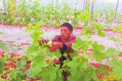 四川泸州赵正富大棚西瓜套种甜瓜亩增收五千元