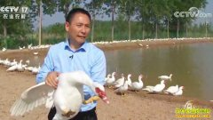 [致富经]安徽安庆黄永强养殖番鸭创造非凡财富