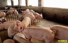 山西五台县建筑老板田化军返乡养猪探出产业扶贫好路