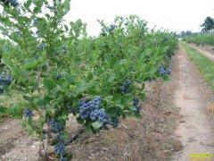 四川泸州退休大姐袁汝群种蓝莓自产自销增收多