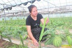 四川泸州王小兰火龙果园套种西瓜效益高