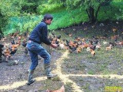 四川阿坝:闲置牛棚养藏鸡 掌握窍门增效益