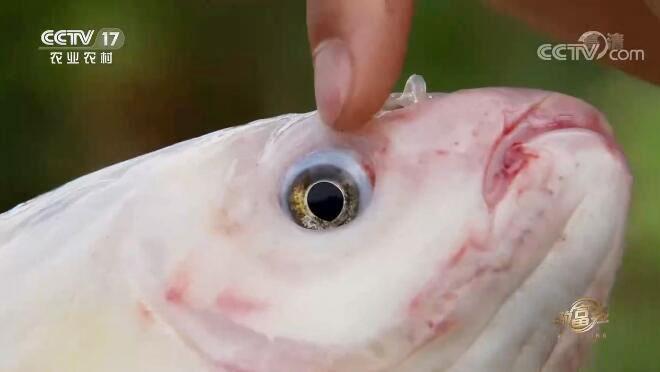 [致富经]安徽涡阳燕下放巧养金草鱼赚钱有高招